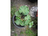 Alchemilla Mollis or Lady's Mantel plants-£2 per pot