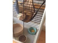 Beautiful house ferret for sale