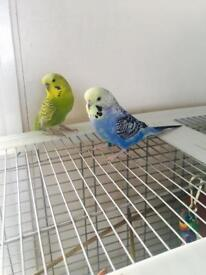 Baby blue and green semi tamed budgie pair... happy couple