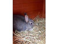 Netherlands Dwarf Rabbit and Hutch