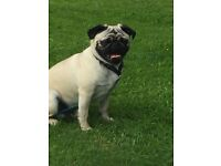 Male pug 1year 6 months old