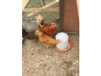 Rooster + hen for sale