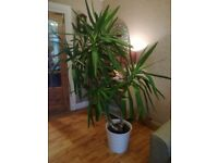Large Yucca plant /tree 5ft tall. Very healthy See all pictures