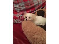 Puppy 10 weeks
