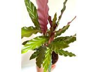 Calathea rufibarba plant
