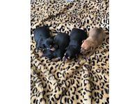 SoLdMini pincher x Miniature Jack Russel puppies