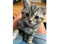 Beautiful british short hair tabby kitten for sale