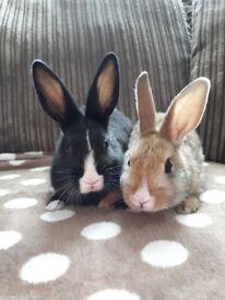 Gorgeous dutch rabbits READY NOW
