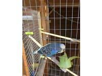 Budgie, male