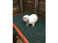 Smokey Sealpoint mini lop