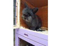 Beautiful part angora rabbit o