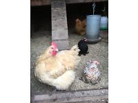hens - 2 mature Orpingtons and 2 bantams