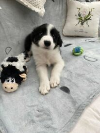 Three Border Collie Pups for Sale in Kendal