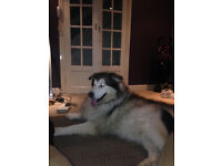 Alaskan Malamute - King - 2yrs - Urgently/Desperately looking for a Furever home