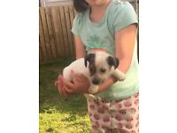 Jack russls puppies last two left