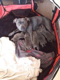 Kc registered Staffordshire bull terrier pups 3 boys 1 girl