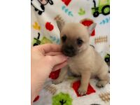 Chihuahua | Dogs & Puppies for Sale - Gumtree