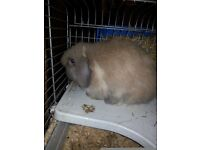 X2 10 month old lop ear rabbits with cage