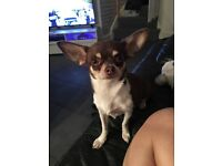 Beautiful Chihuahua Chocolate Tri Girl For Sale
