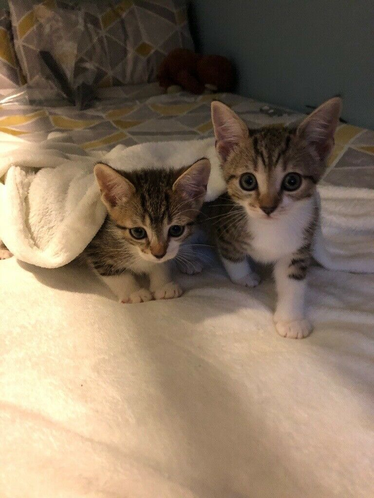 Last 1 2 Bengal Kitten For Sale In Maidstone Kent Gumtree