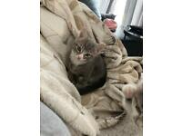 Grey kitten part Russian Blue