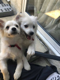 Pomeranian puppies ready for their new home! Boy puppy and a girl puppy