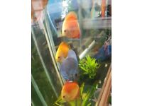 DISCUS FOR SALE 2 inch +