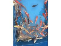 """Koi carp 4-5"""" pond fish"""