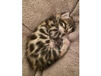 G5/ SBT brown female Bengal kitten - TICA registered