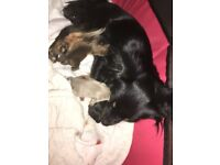 3 long haired male chihuahua puppies