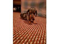 Dachshund puppie