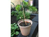 Monkey Puzzle Tree ( Araucaria araucana )