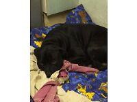 Staffordshire Bull Terrier X Labrador (Male, not neutered)