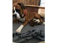 KC Boxer Pups for sale