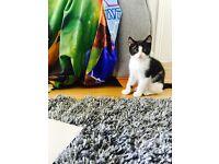 Male kitten for sale 9 weeks old
