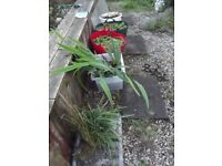 Pond Plants For Sale from £1
