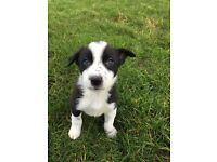 Isds registered collie pups