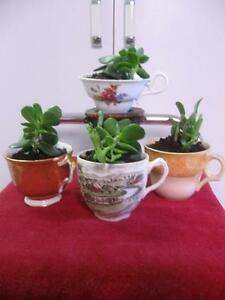 "CLASSY LITTLE WINDOW-LEDGE STARTER PLANTS... TEA CUPS ""FULLA' JADES"""