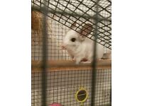 Mother and daughter chinchillas for sale