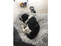 6 Month Old Black and White Female Springer Spaniel For Sale