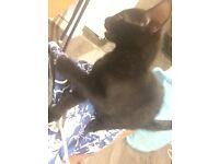 JET BLACK kitten £30