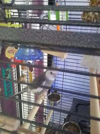 2 cocketeils 1 male and 1 female. In separate cages.
