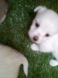 Chihuahua cross Shih Tzu westie puppies for sale