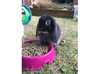 Baby black otter mini lop rabbit