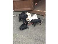 Chunky pedigree pug puppies