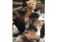 6 stunning unique kittens ginger calico tortie brown ready t go in 4 wks