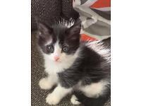 Persian cross Bengal kittens