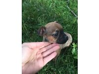 Chihuahua cross pug for sale