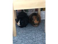 2 loving guinea pigs - Tilly and Daisy