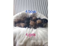 JACKHUAHUA PUPPIES 4 BOYS 4 GIRLS VERY SMALL AND VERY FLUFFY